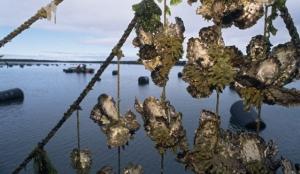 HangingOysters