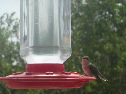 HummingbirdAtFeederLooking
