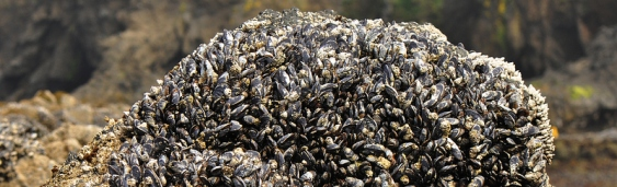 YHL-Tidepooling-Mussels