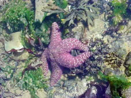 YHL-Tidepooling-PurpleStarfish