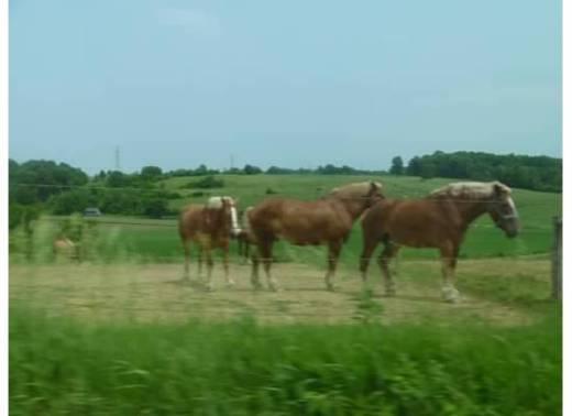 AmishWorkHorses