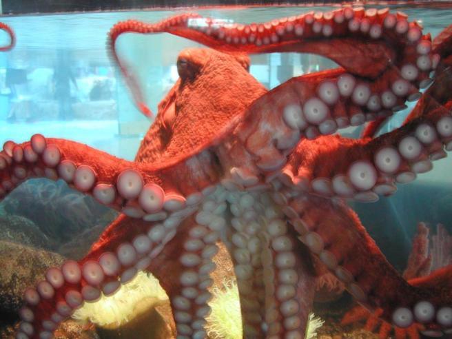 WhiteAndRedOctopus
