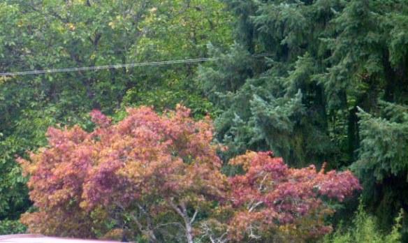 oregon-fallcolorsurhmaple