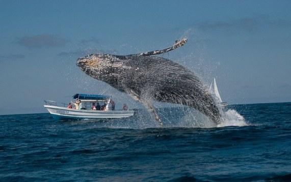 whalewatching-greywhalebreaching-2