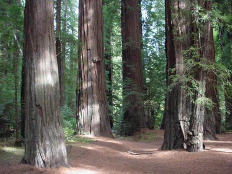 redwoods-1