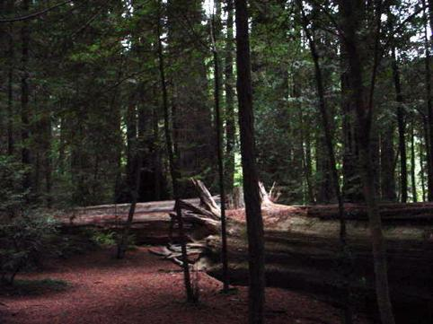 redwoods-2