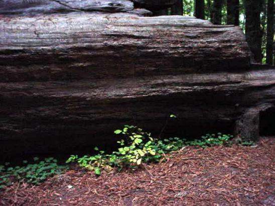 redwoods-4-oxycillis
