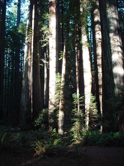 redwoods-6