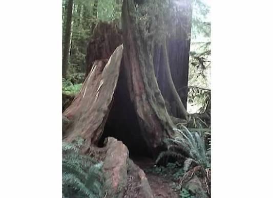redwoods-treecave