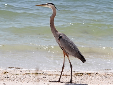 crane-blueheron
